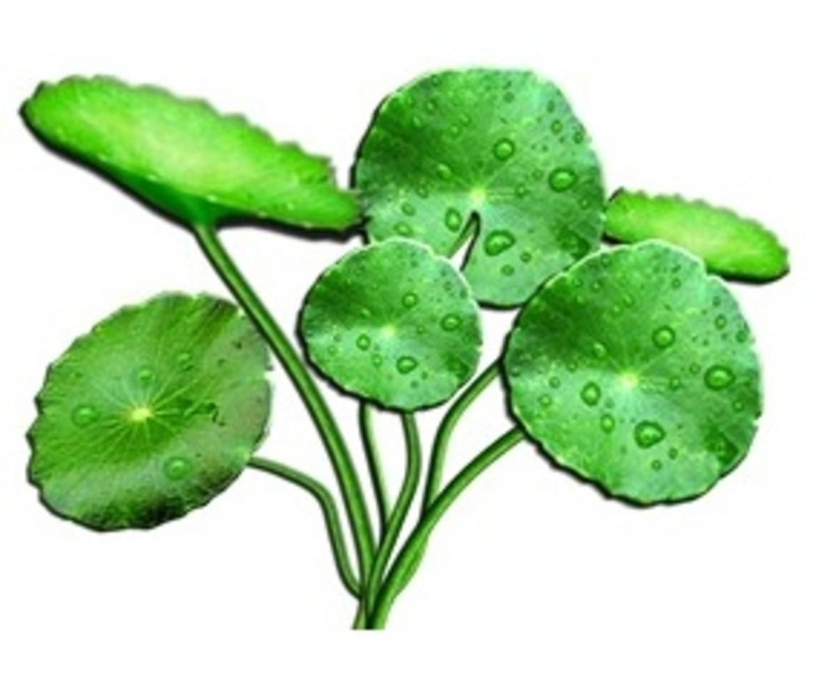 Gotu Kola - Species Centella Asiatica or Hydrocotyle Asiatica- one of natures secrets to naturally produce collagen