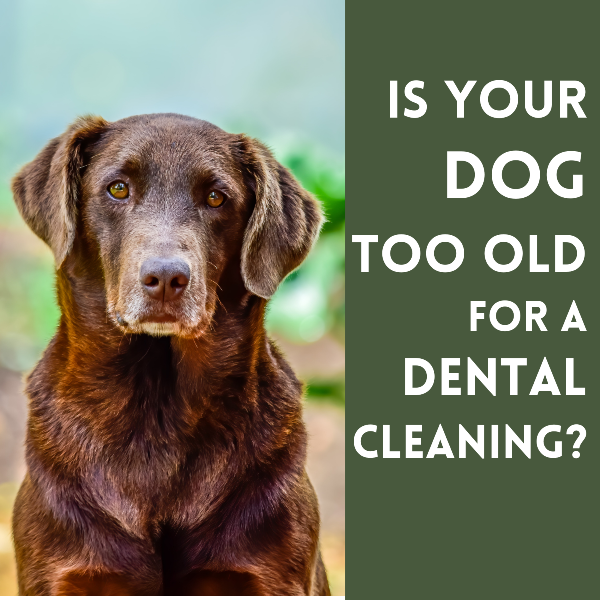 Is my dog too old for a dental cleaning? What are the risks?