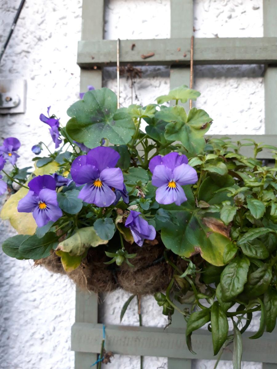 Pansies look great in hanging pots