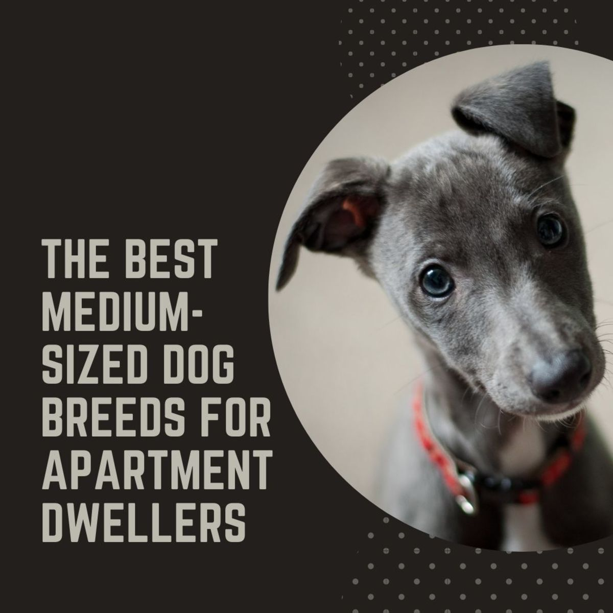 Best Six Medium-Sized Dog Breeds for an Apartment