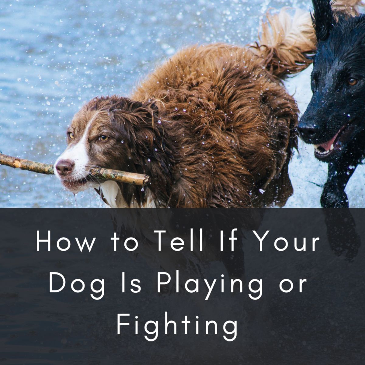 Sometimes dog play looks a lot like dog fighting.