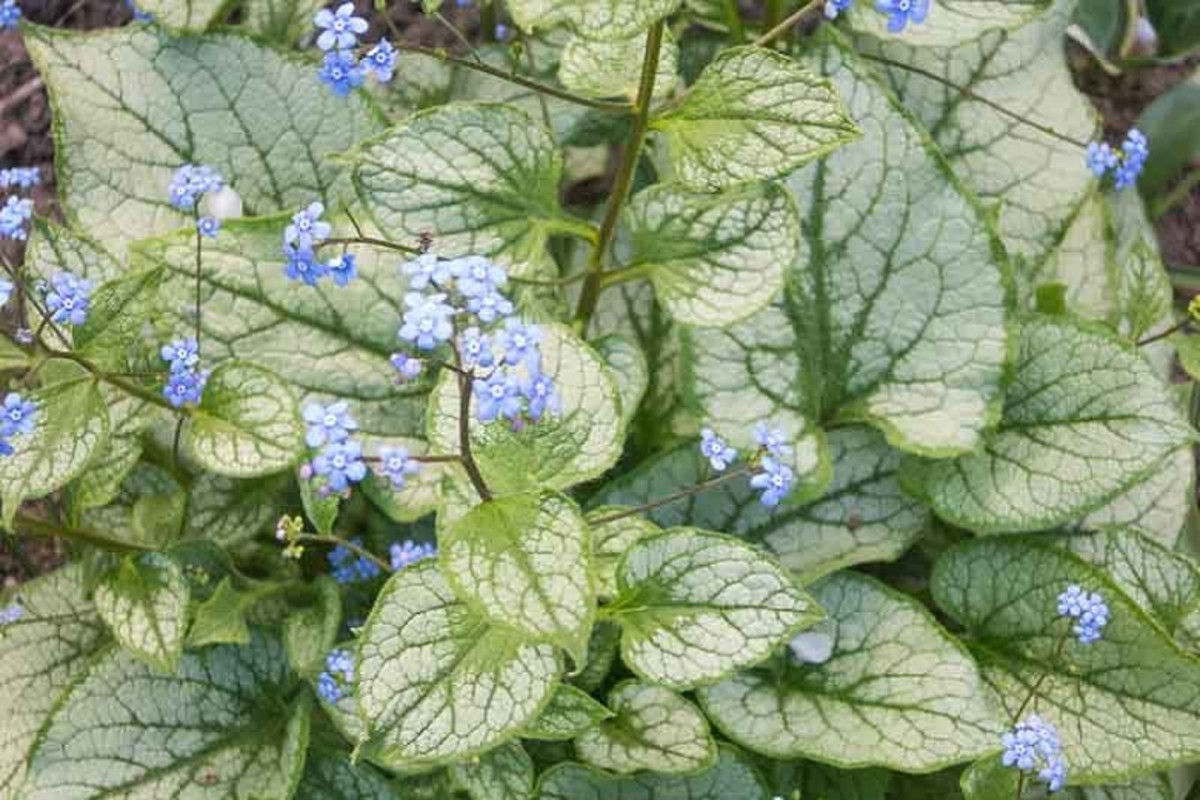 Brunnera is one of the most desirable plants for a shade garden because it blooms and grows. The attractive, shiny foliage of the artificial forget-me-not, also known as bogus forget-me-not, is complemented by the petite blooms. The brunnera that is