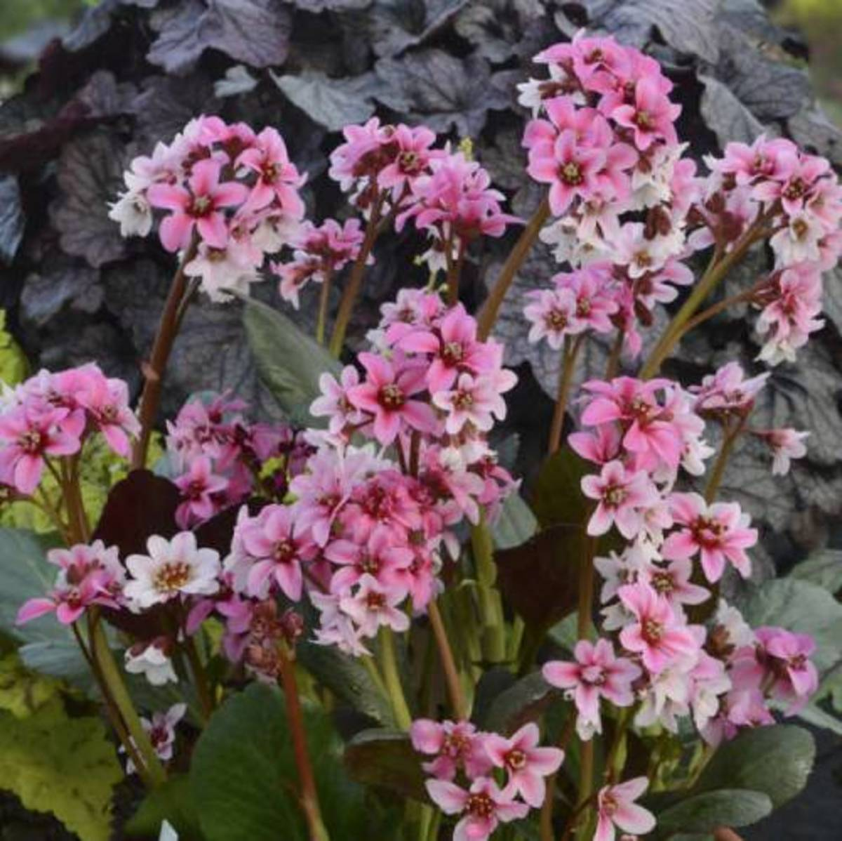 Bergenia plants (Bergenia cordifolia) have long enchanted gardeners with their big glossy leaves and pert springtime flowers, including the unflattering nickname pig squeak. The name derives from the sound made as the leaves are rubbing together.