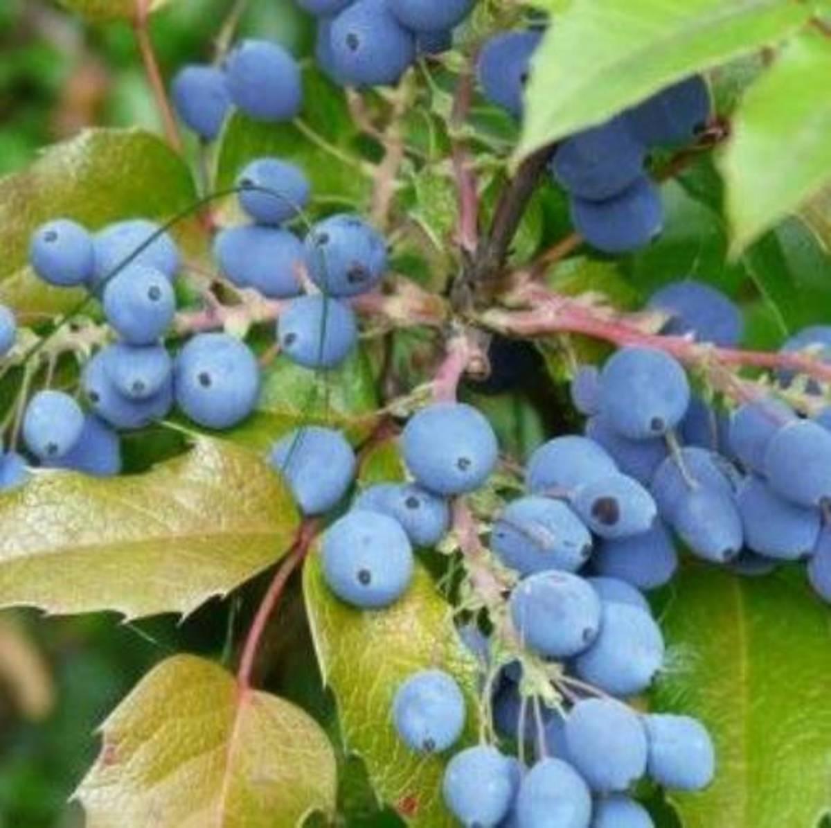Showy, ornamental, native evergreen Oregon grape holly!