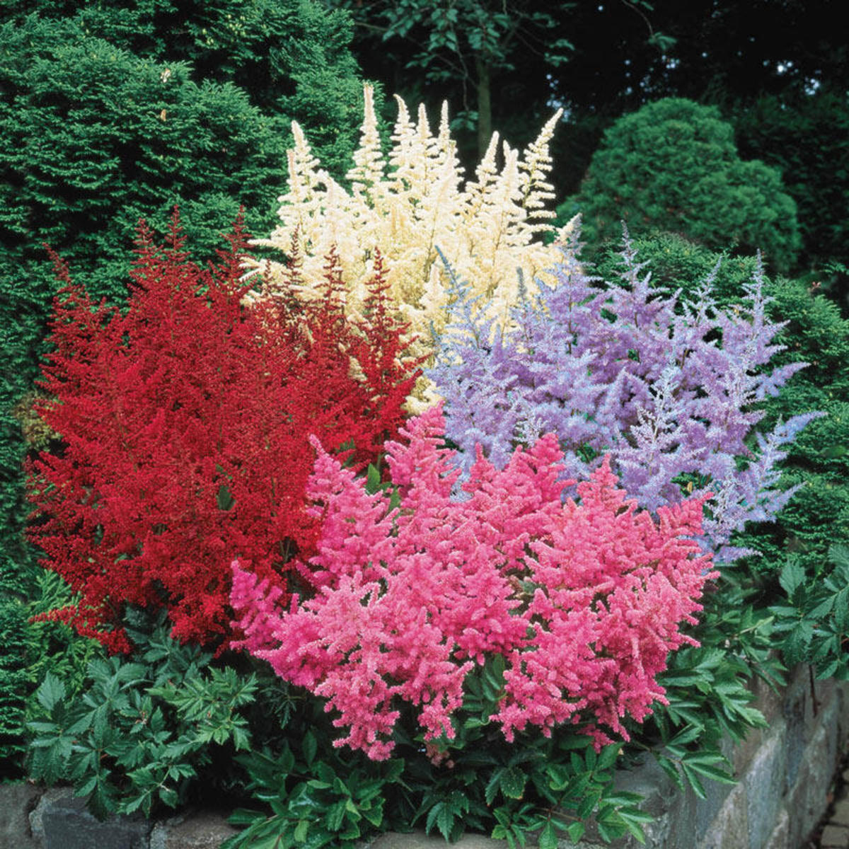 Astilbe is one of our favorite shade perennials because it is the savvy gardener's trick for adding vivid color in low-light areas. White, pink, lavender, and red feathery plumes are carried high over dark green, fernlike foliage.