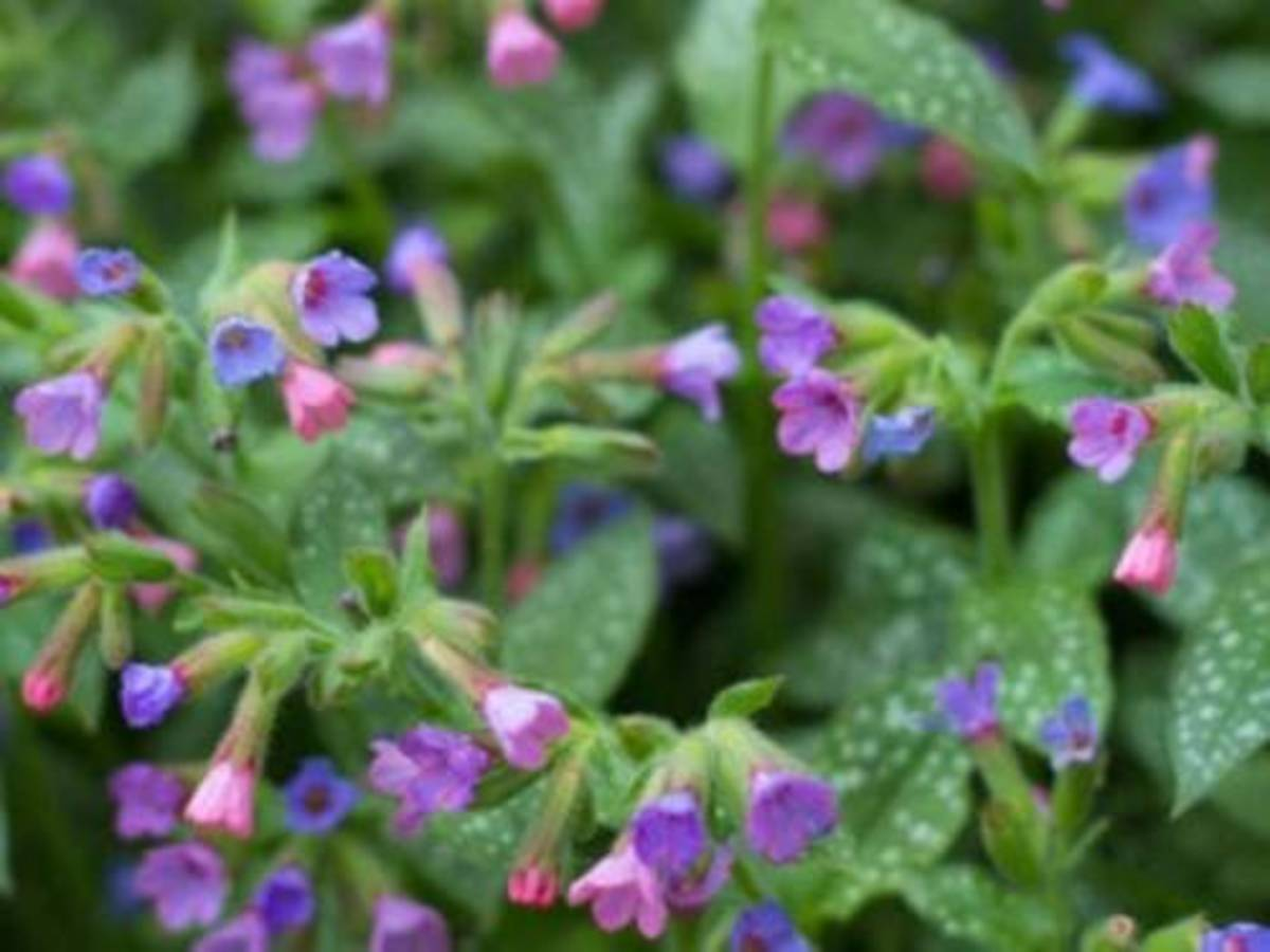 Lungwort plants are cultivated mostly for their unusual leaves, which are green with random white spots and seem to have been sprayed with bleach. The leaves are often covered with a rough, hairy fuzz.