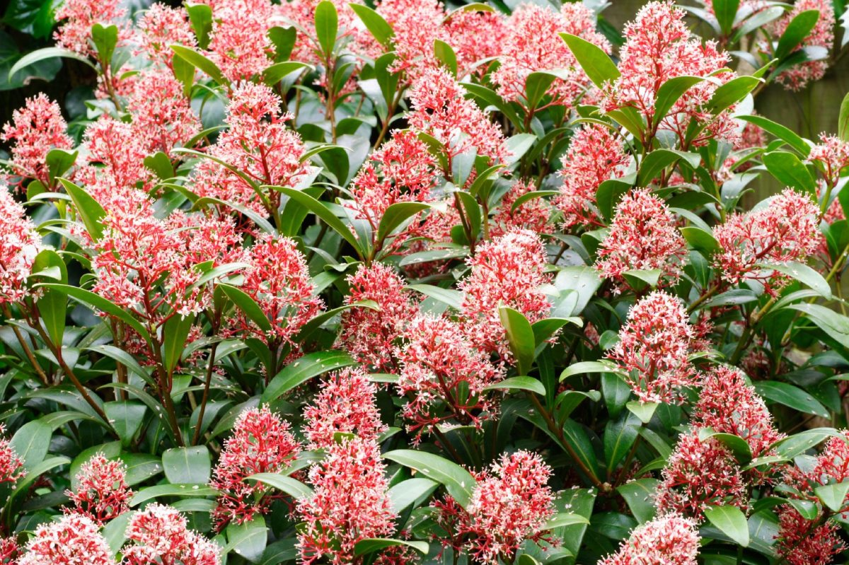 Skimmia thrives in semi-shaded, wooded settings. It's deer-resistant, and the berries are extremely appealing to hungry songbirds. Continue reading to learn more about this fascinating vine.