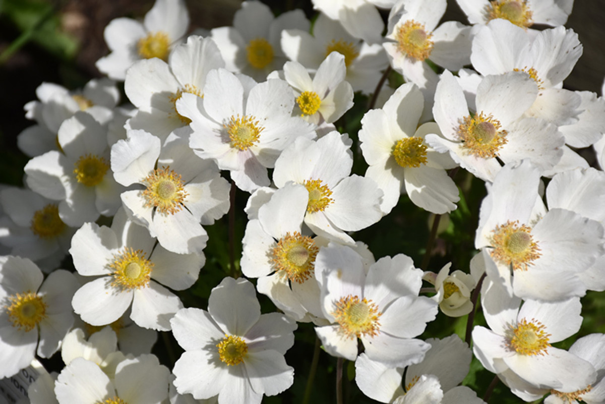 From mid spring to early summer, Windflower produces masses of pretty white daisy flowers with yellow eyes at the ends of the branches, which look best when planted in groups. The fruit isn't particularly attractive.