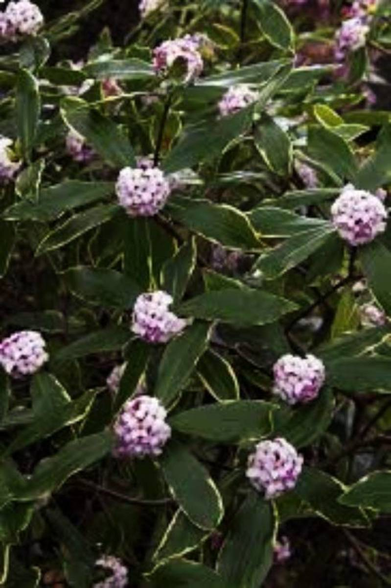 In the winter and early spring, beautiful rosy-pink flower buds open to white, sweetly fragrant flowers. Variegated leaves with a yellow border.