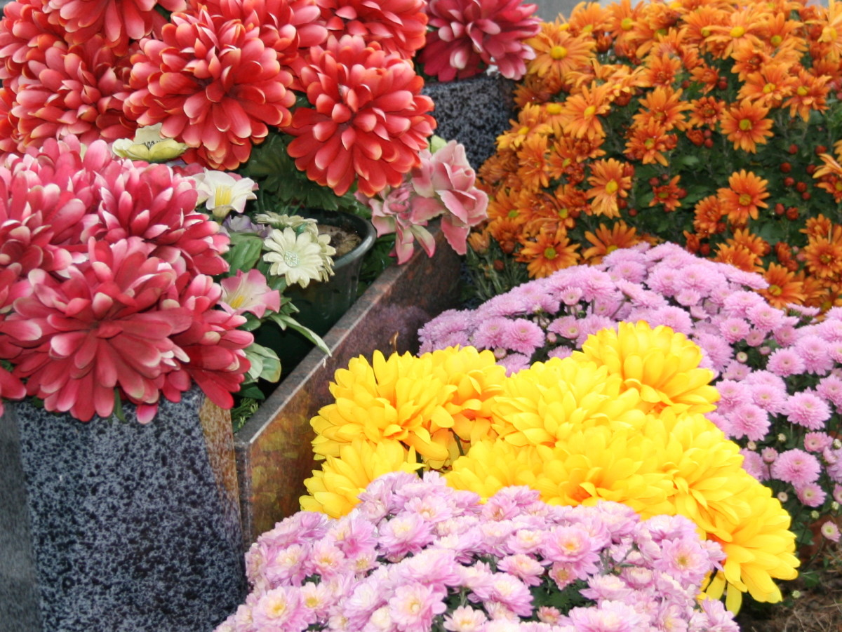 Mixed chrysanthemums
