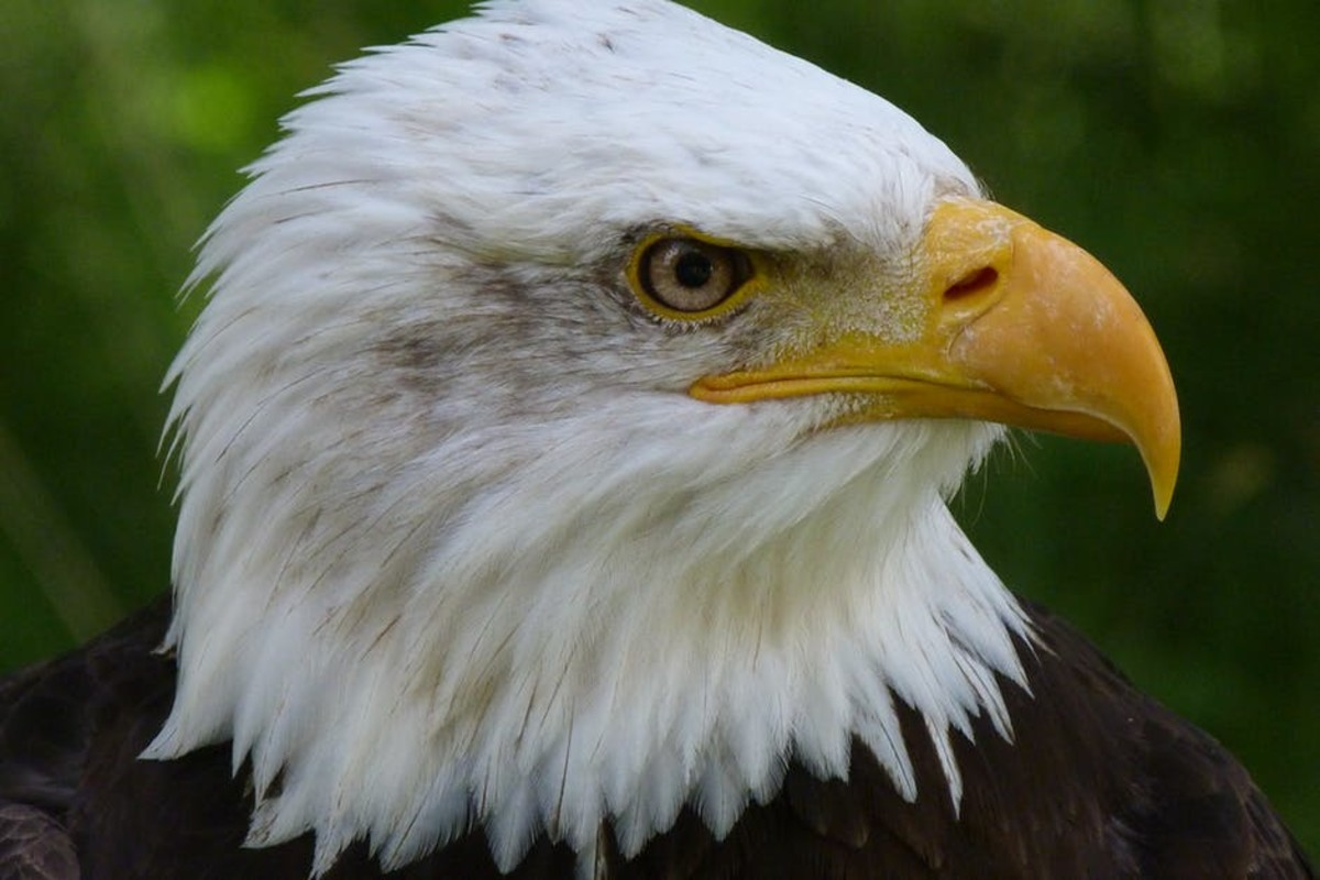 A particularly charming moment in the text was when Pringle recounted that, in Roosevelt's boyhood, he liked to refer to creatures by their Latin name - in this case, an American bald eagle, or Haliaeetus leucocephalus.