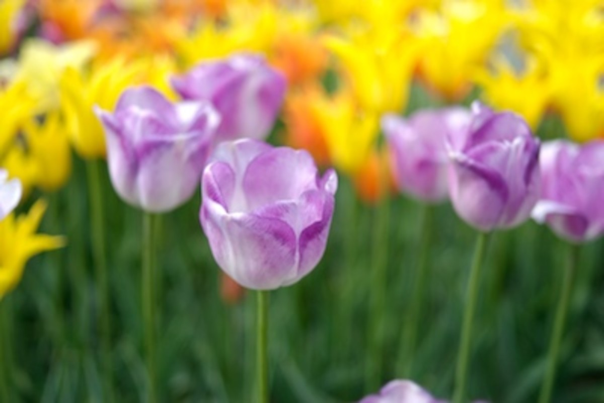 My favorite color of purple dresses up spring tulips
