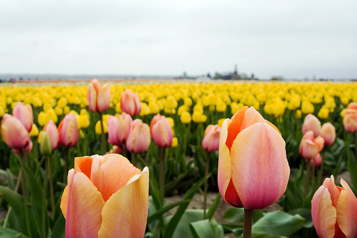 Fields of colorful tulips brighten up a gray day