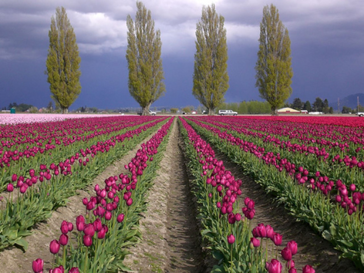 Fields of tulips are simply delightful