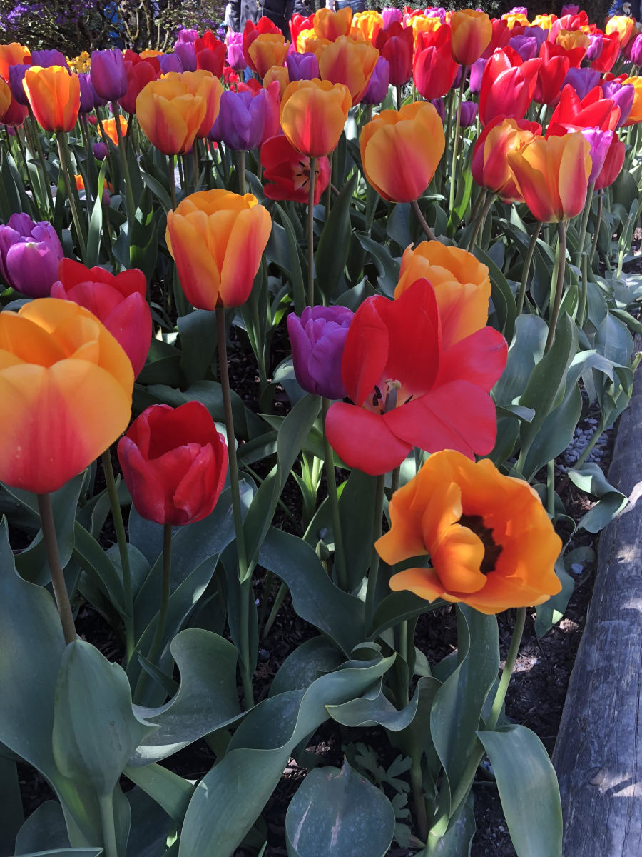 Tulip Festivals: Celebrate Spring With Colorful Flowers