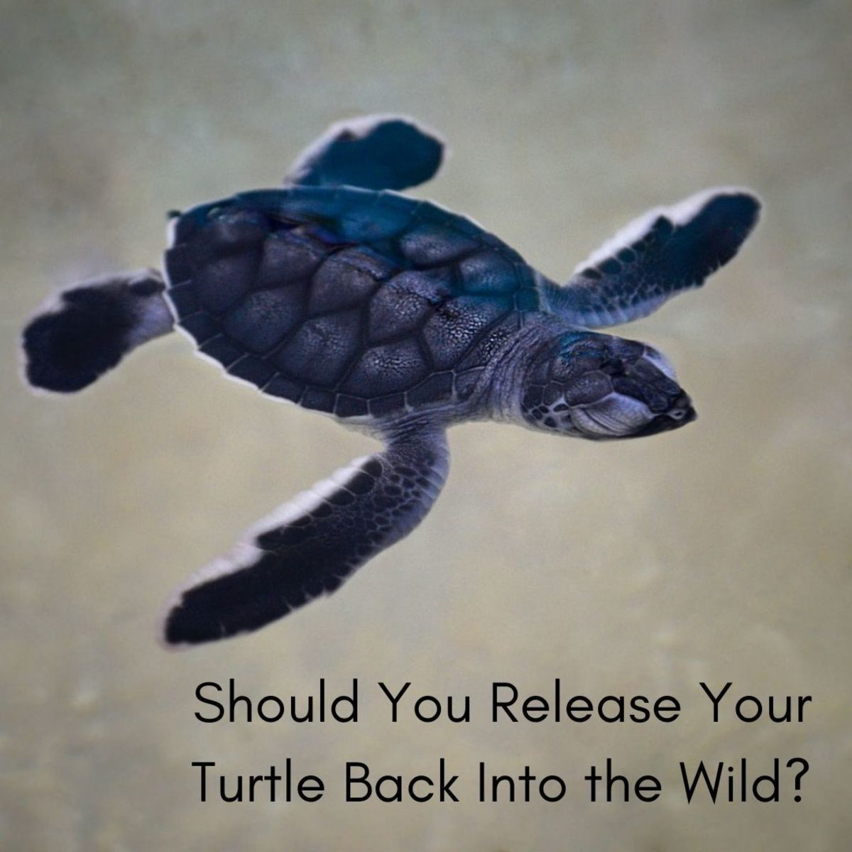 A lot of people think it is cruel to release a turtle back to the wild after being kept as a pet for so long. But is this true?