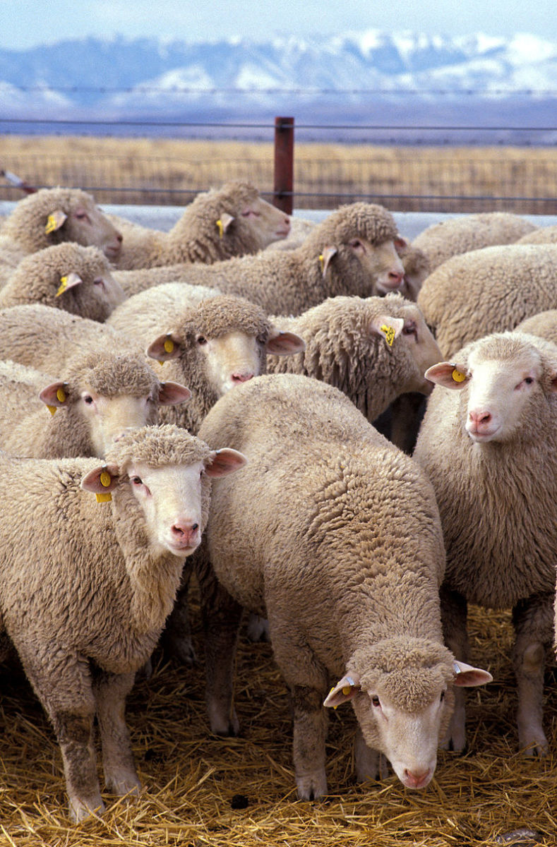 The first job that I did in the farm was to look after a small flock of sheep and couple of goats. we had to take the flock of sheep in the fields, so, they would eat whatever there was in the field. After harvest they could craze in the wheat field.