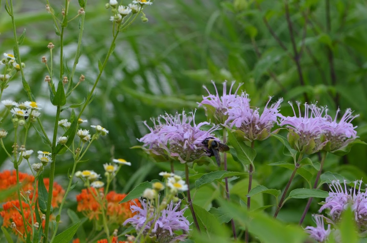 There are so many wonderful herbs like Bergamot, monarda, Chamomile, bee balm that we can grow in our gardens.  These kinds of gardens are some of my first exposure to essential oils found in nature.  I love them so much.