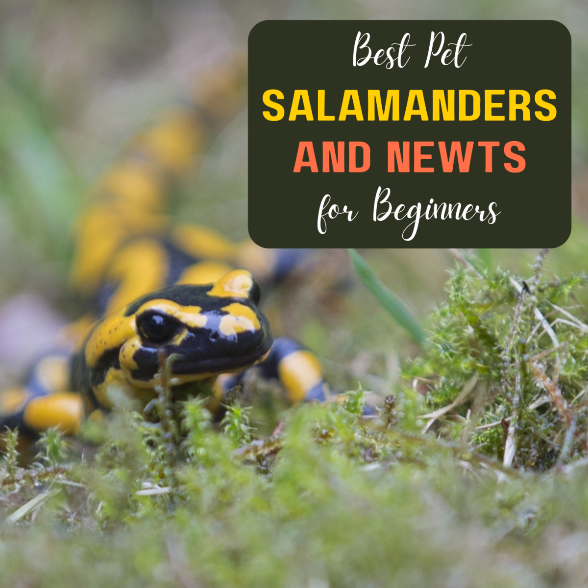 Best Beginner Pet Salamanders and Newts