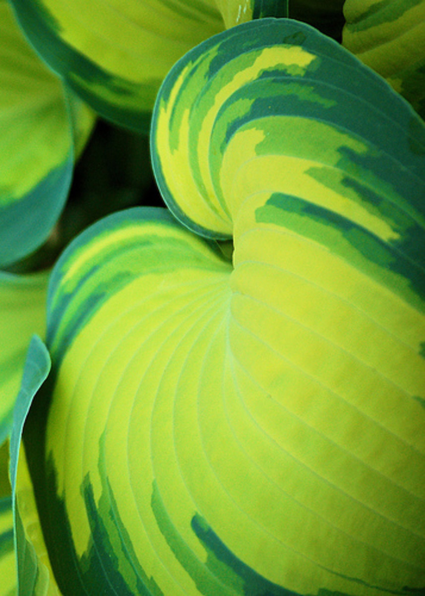 A lovely hosta. Photo by sleepingbear.