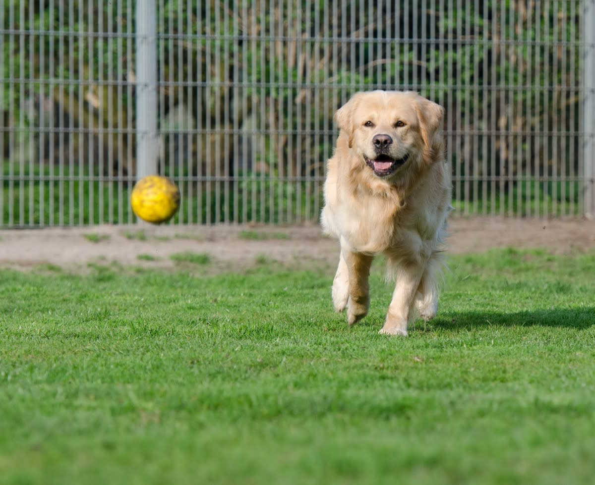 Golden retriever in dog enclosure PXHere Public Domain