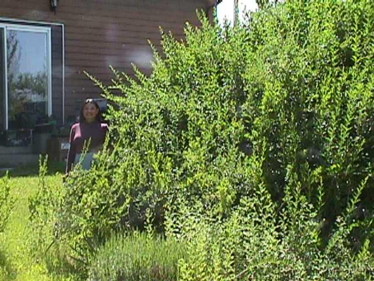 A very small portion of the goji bush.