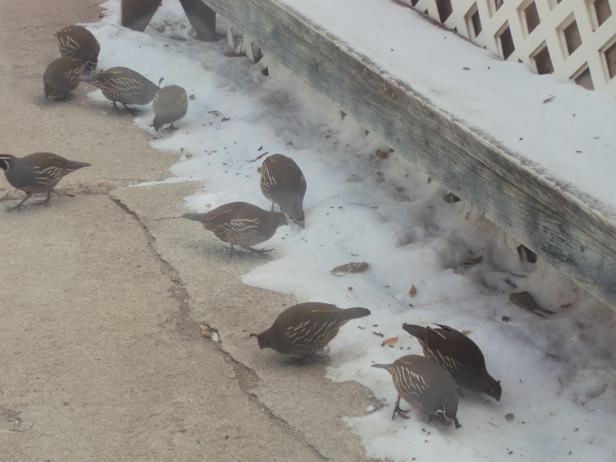 The Quail Family with fallen seeds on the snow.