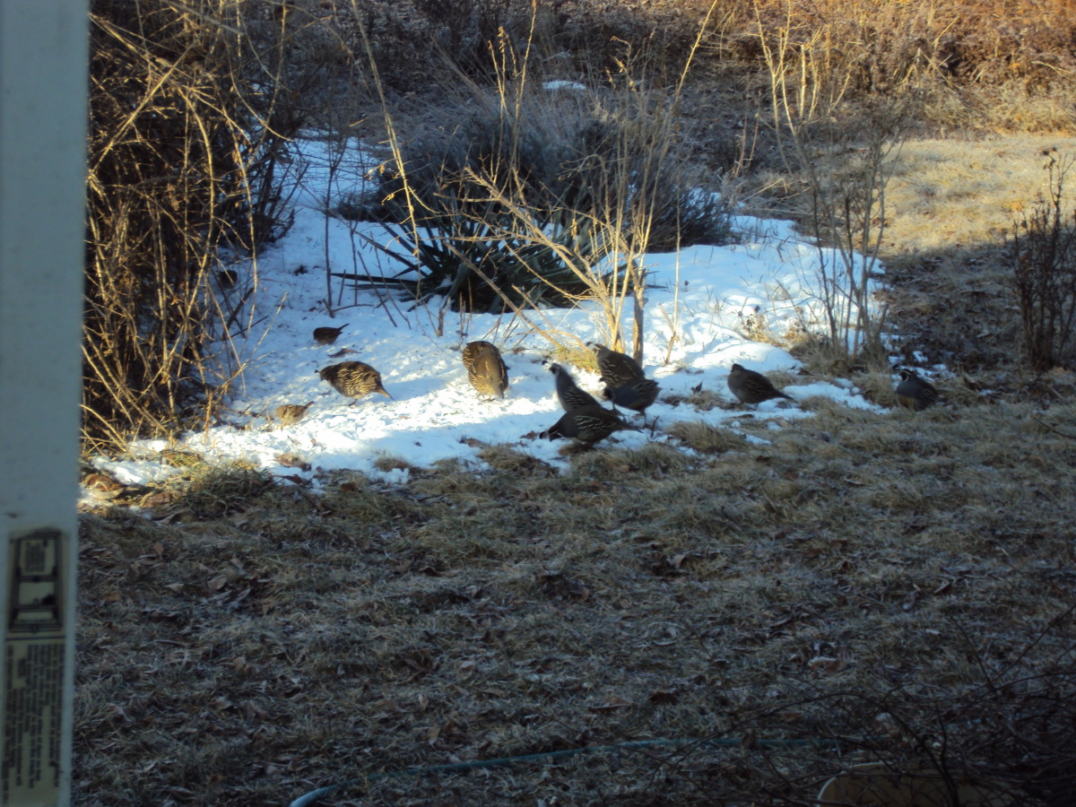 Part of the Quail Family.