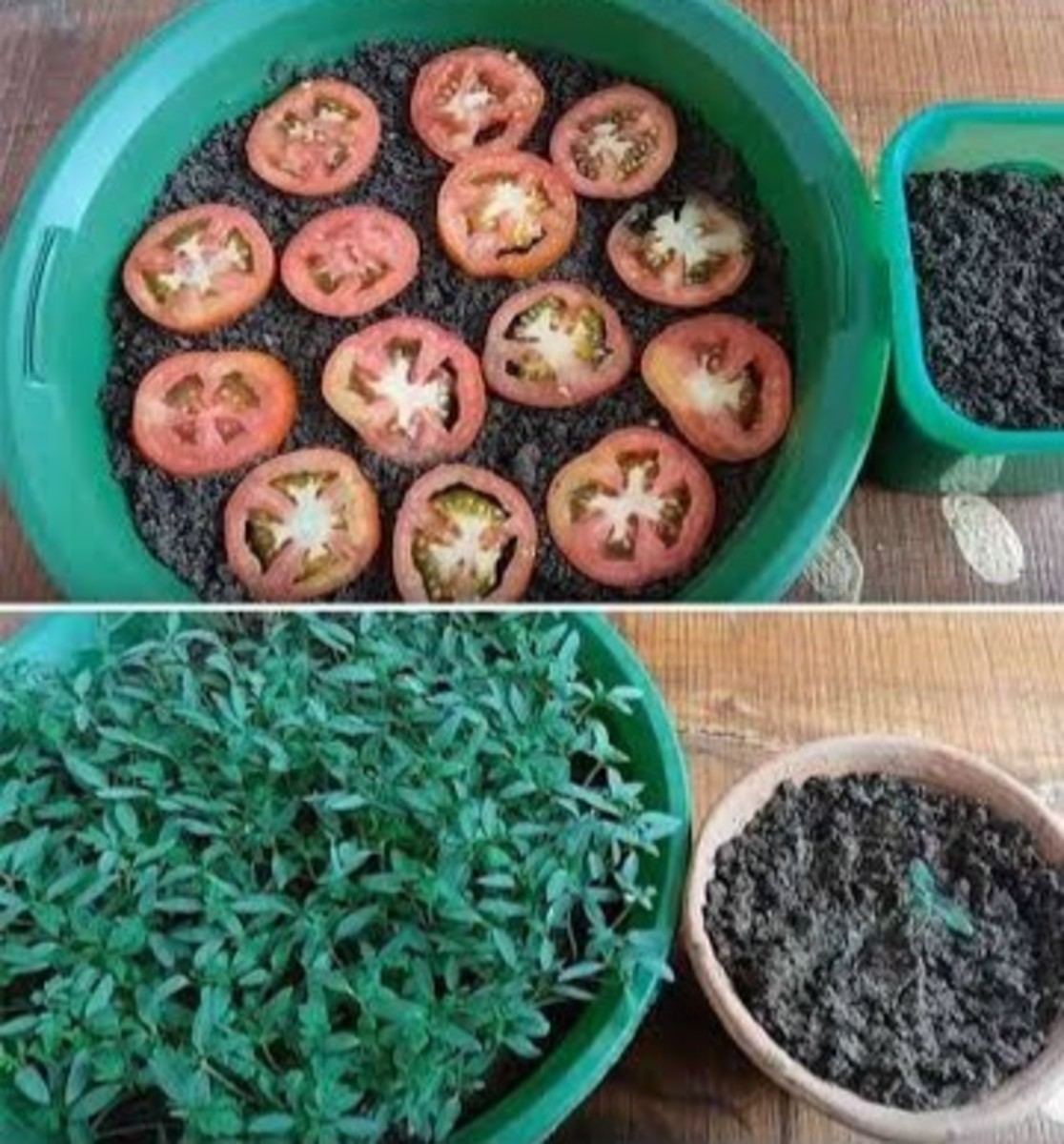 Tomato slices with their seeds still attached can grow into new plants.