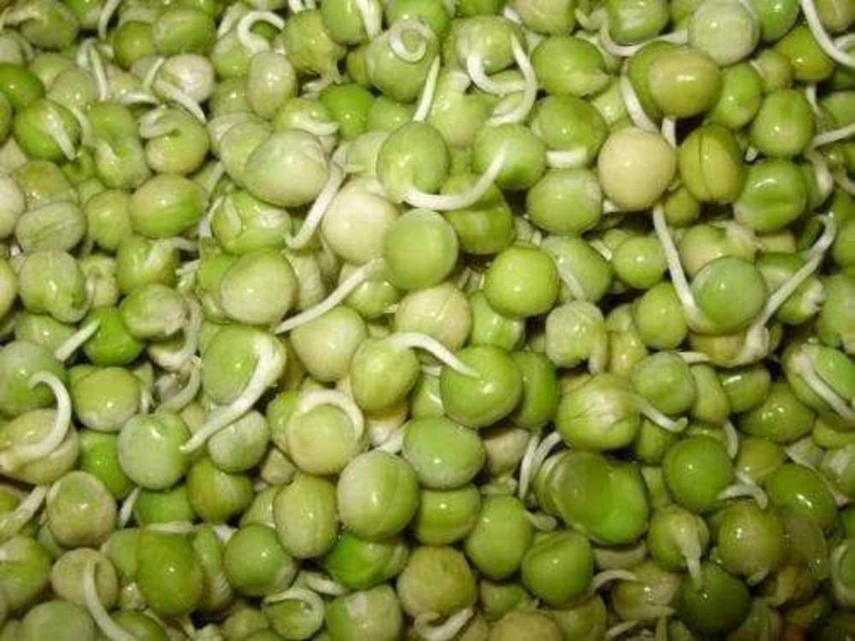 Sow these germinating peas to grow new pea plants.