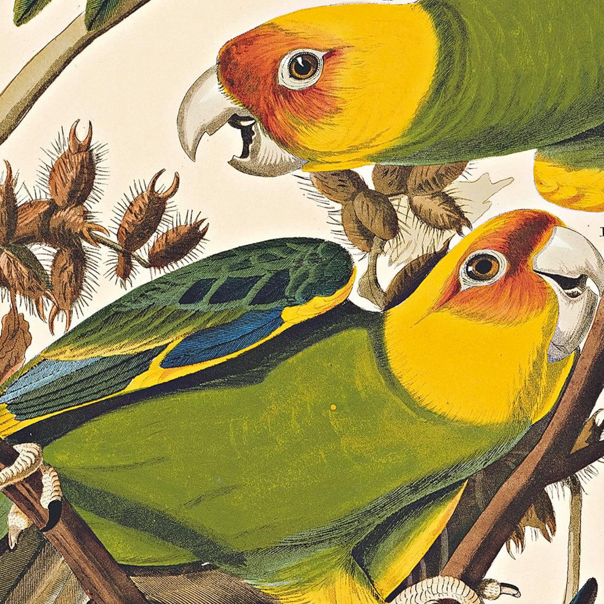 Audubon Sketch of Carolina Parakeet