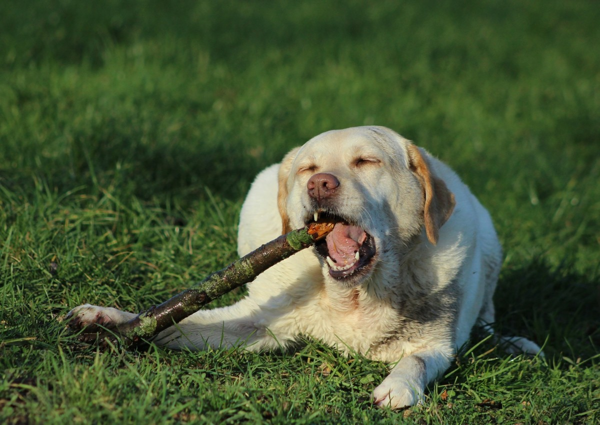 This dog is using its carnassial teeth to chew on this log.
