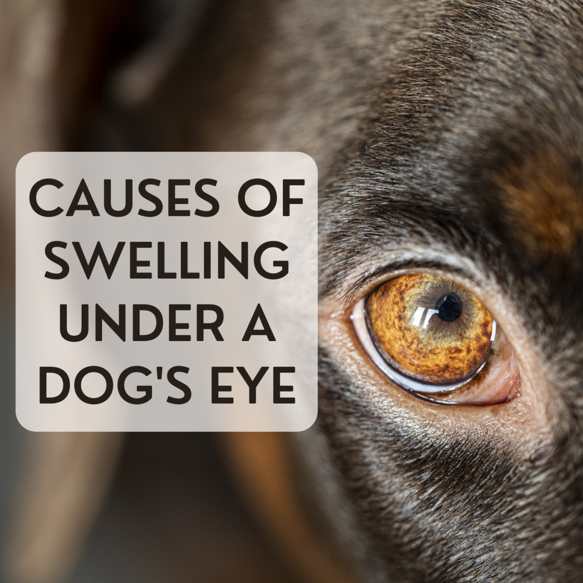 How a Dog's Carnassial Tooth May Cause Swelling Under the Eye