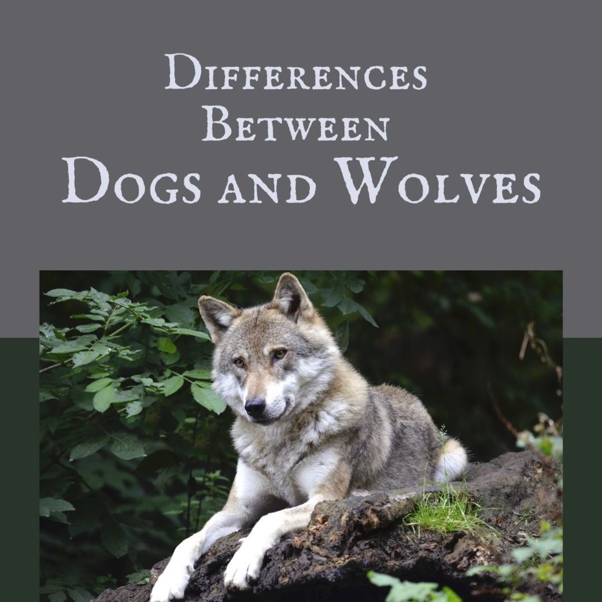 How did dogs evolve from wolves? What are the differences between dogs and wolves?