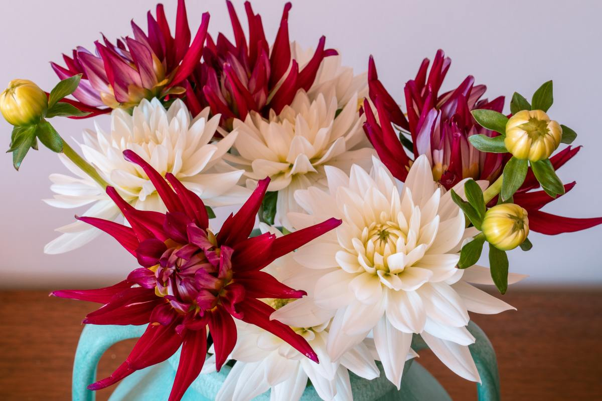 Learn how to plant and grow beautiful dahlias.