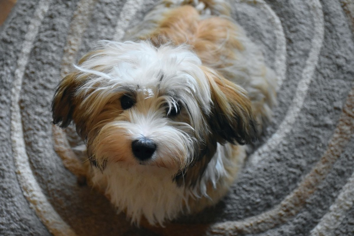Pup Havanese posing for the camera