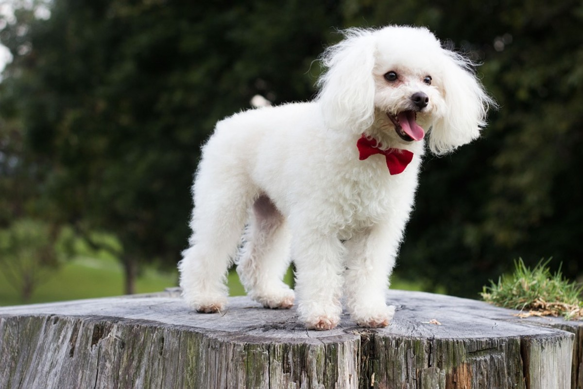 A happy dressed Poodle