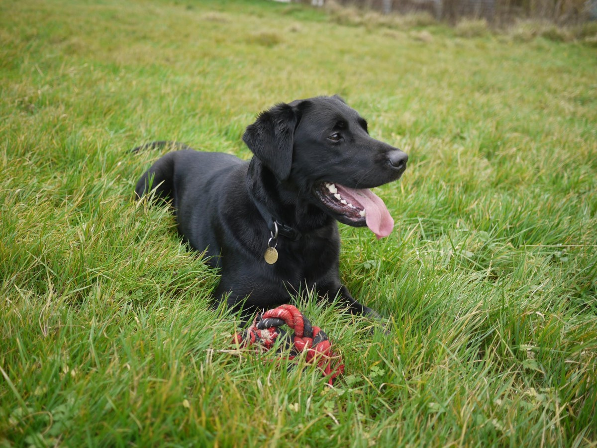 Labrador sitting on green grass