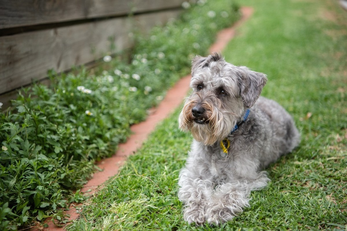 Mixed Breed dog aka Schnoodle