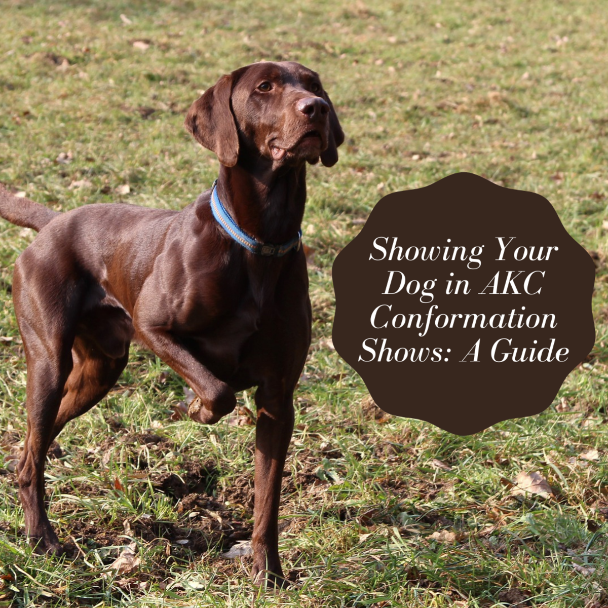 This guide will provide information about what it's like to show your dog in an AKC conformation show.