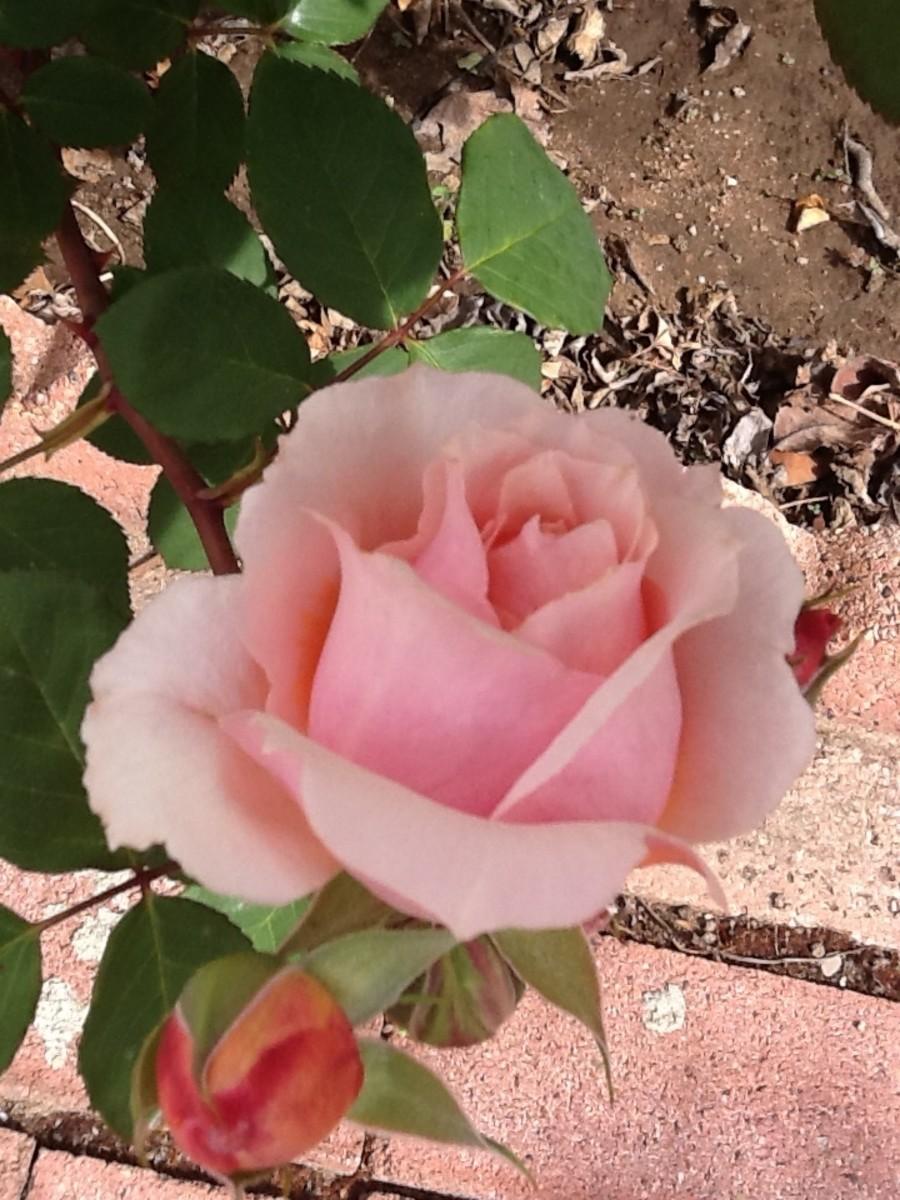 the-paul-bocuse-rose