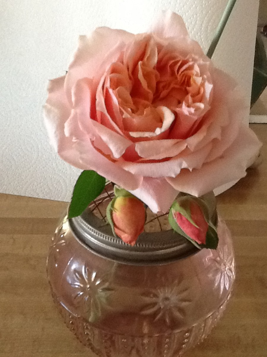 The Paul Bocuse Rose