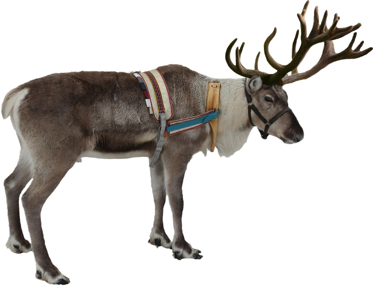 One of Santa's reindeer that has to be kept in shape for that annual journey.