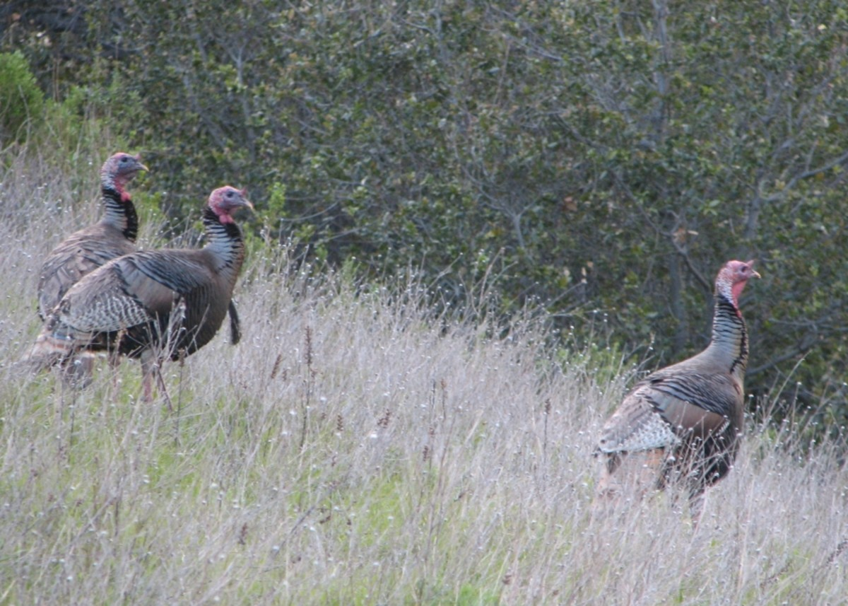 tips-for-cooking-a-wild-turkey