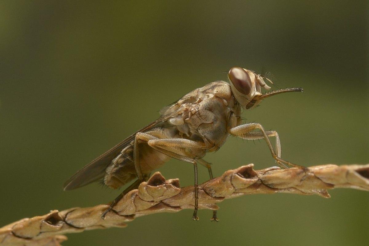 The deadly Tsetse fly.