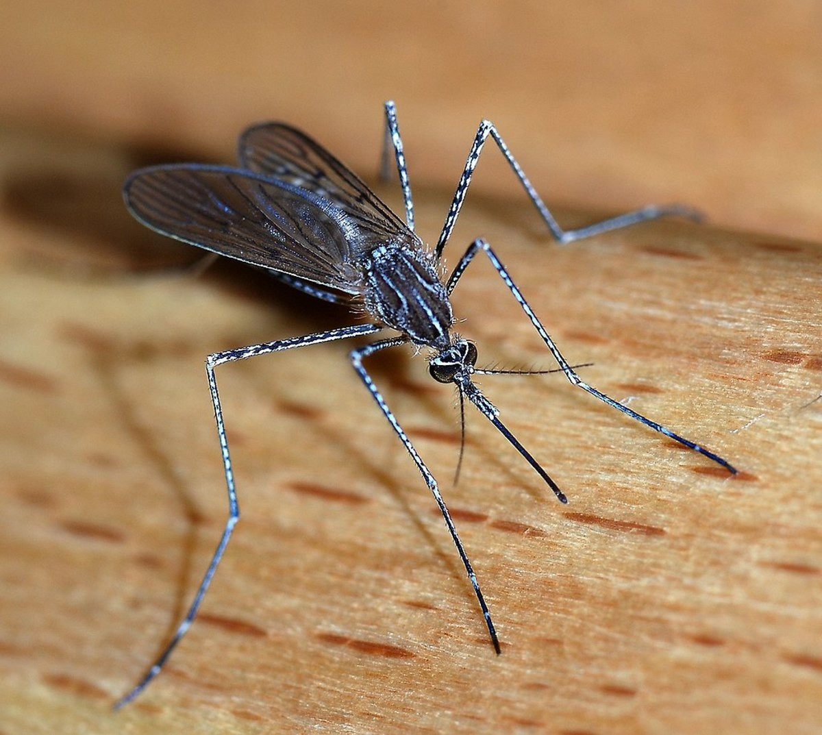 The deadly mosquito: world's most dangerous animal.