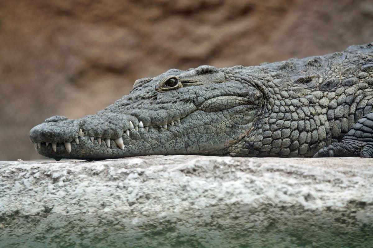 The deadly Nile crocodile.