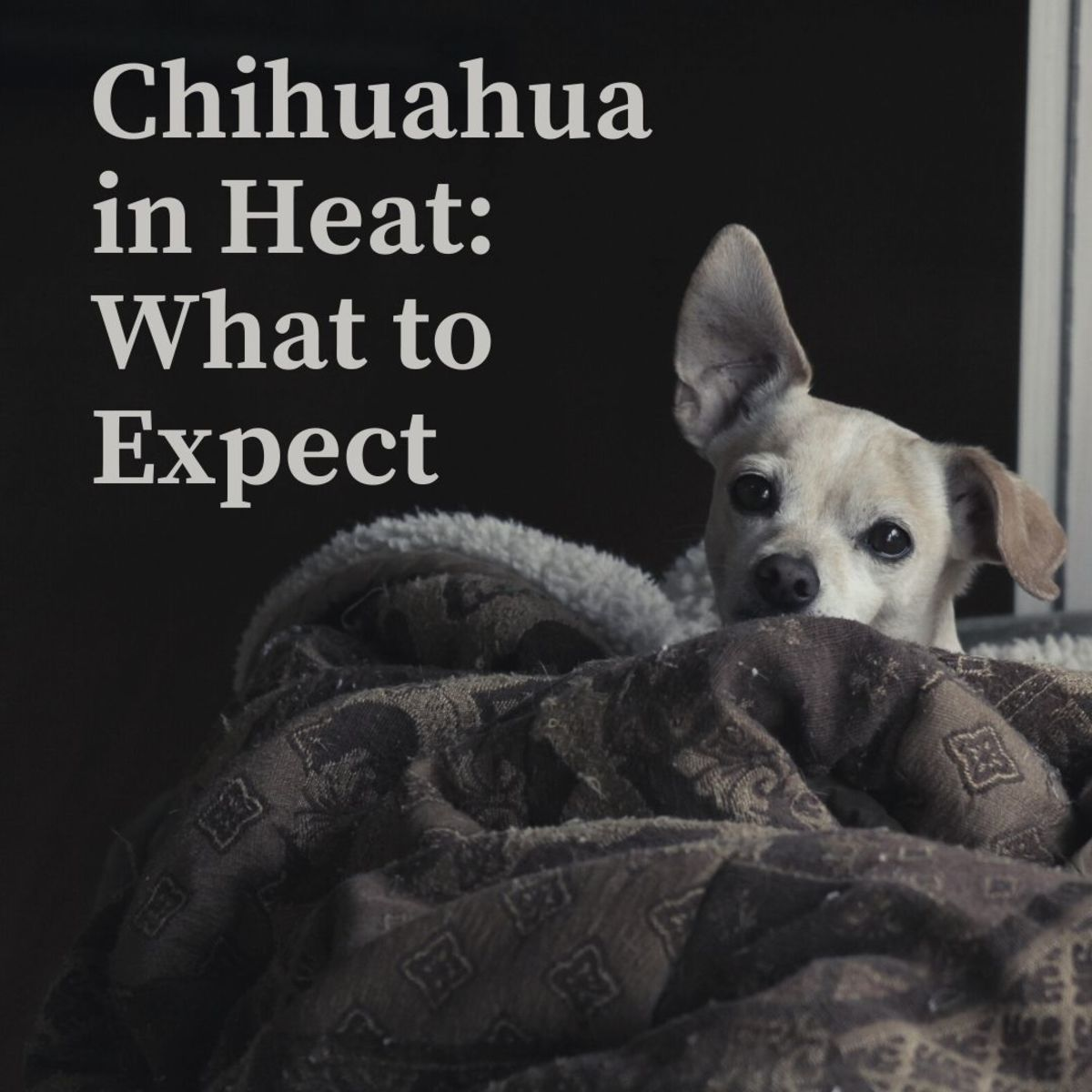 All about the chihuahua heat cycle and what to expect