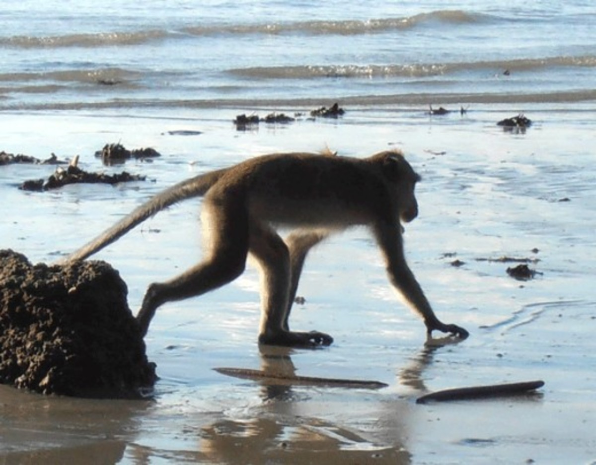 Macaque on the beach hunting for small crabs