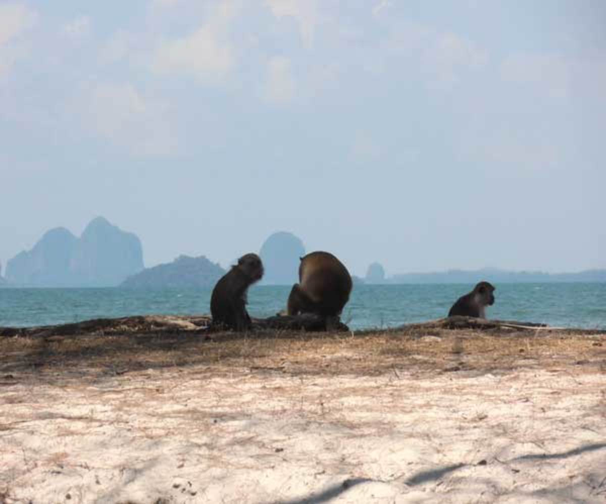 Macaques with Andaman Sea Islands in the background